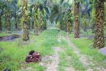 Plans Seed Oil palm - Sabah Borneo Malaysia