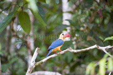 Stork-billed Kingfisher on branch - Sabah Borneo Malaysia