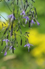 Purple Lettuce in a remarkable botanical garden Vosges