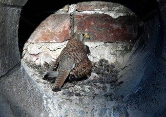 Kestrel female to the nest in an oculus - Paris France
