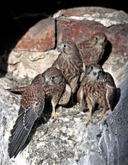 Young Kestrels ready to leave the nest - Paris France
