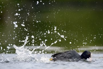 Coot swimming rapidly - Luxembourg