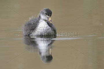 Young Coot on the water and reflection - Luxembourg