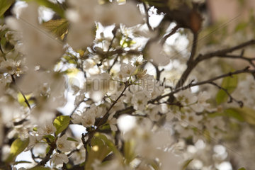 blossom of the prunus