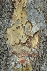 Detail discolored bark Pine