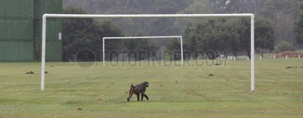Chacma baboon on a football field - South Africa