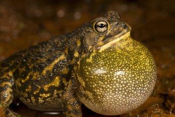 Toad singing on bank - La Ruvubu NP Burundi
