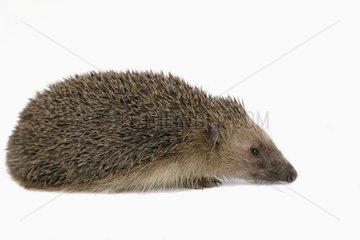 Western european Hedgehog in studio France