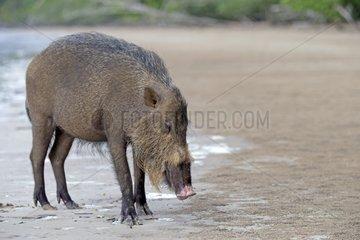 Bearded Pig on a beach - Bako Borneo Malaysia