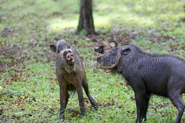 Bearded Pig fighting - Bako Borneo Malaysia