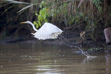 Intermediate egret in flight over water - Malaysia