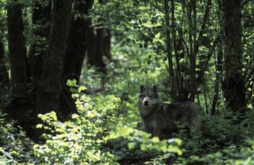 Loup d'Europe discret à l'ombre d'un sous-bois France