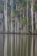 Palm trees on lake Sandoval Amazon Peru
