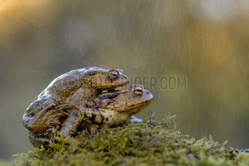 Common toads mating in the rain - France