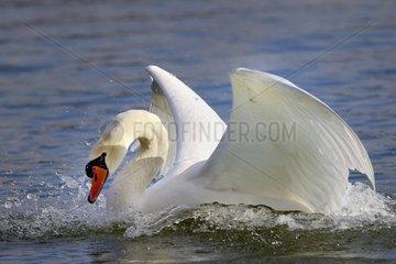 Mute Swan landing on water - Lorraine France