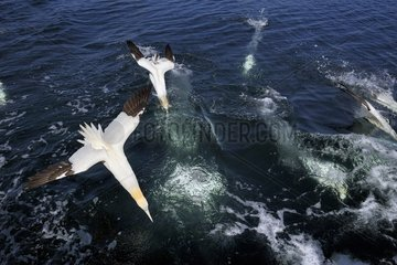 Northern Gannets flying dive and diving - Bass Rock Scotland