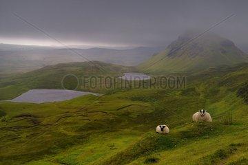 Sheep on the moor - Quiraing Isle of Skye Scotland UK