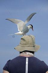 Arctic tern on the head of a tourist - Farne Islands UK