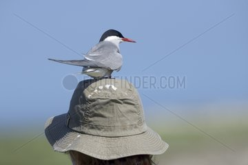 Arctic tern on the head of a tourist - Farne Islands UK
