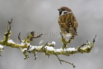 Eurasian Tree Sparrow on branch in winter - Lorraine France