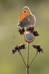Small Heath and Snail on dryed flower - Lorraine France