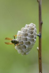 Paper wasp on its nest - Lorraine France
