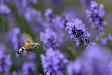 Olive Bee Hawk-moth flitting flight in lavender - France