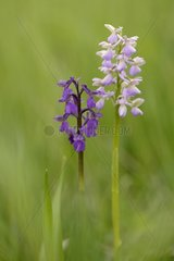 Green-winged Orchid flowers at spring - Lorraine France