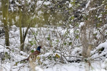 Ring-necked Pheasant male on ground in winter - France