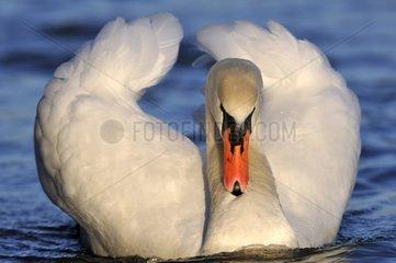 Mute Swan on the water - Lorraine France