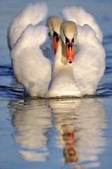 Mute Swans on the water - Lorraine France