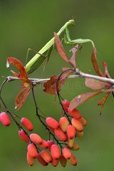 Praying mantis on the lookout on Barberry - France