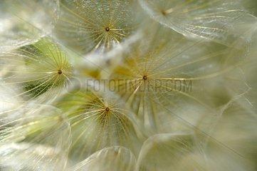 Meadow salsify seeds - Lorraine France