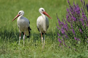White storks in a meadow - Alsace France