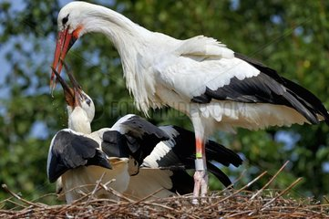 White stork feeding its young at nest - Alsace France