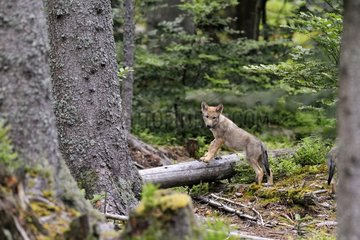 Young European Wolf in the forest - Bayerischer Wald Germany