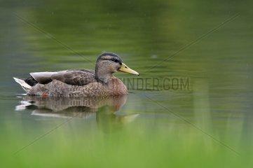 Female Mallard duck swimming in the rain - Scotland UK