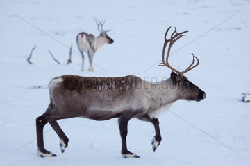 reindeers in Northern Finland