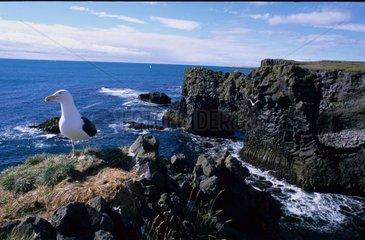 Nid et Goéland marin sur falaise rocheuse côtière Islande