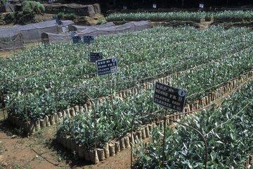 Culture of cloned tea seedlings in Sri Lanka