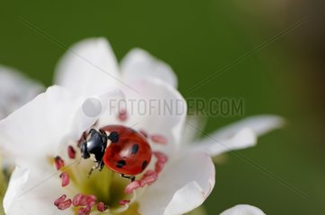 Sevenspotted Lady Beetle seeking Aphids France