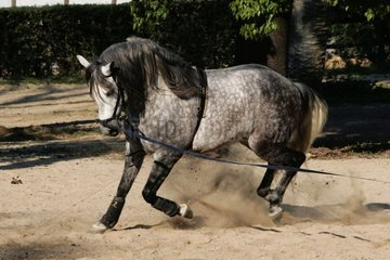 Andalusian thorough-bred with Spain raising [AT]