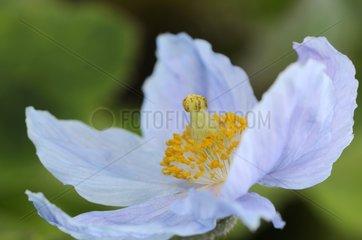 Blue Poppy flower in a remarkable botanical garden Vosges