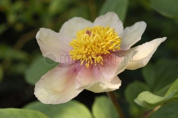 Fleur de Pivoine dans un jardin Alsace France