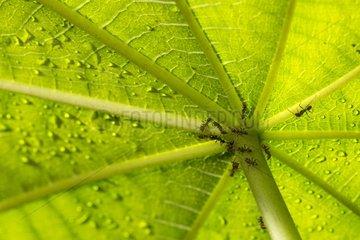 Aztec ants on Cecropias - Barro Colorado Panama