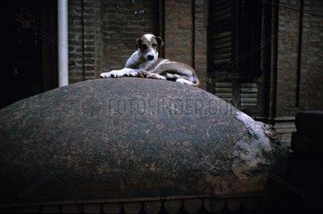 Dog lying in the street Vârânaçî India