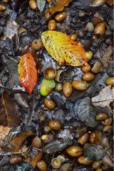 Leaves and Oaks mature Acorns Catalan Pyrenees