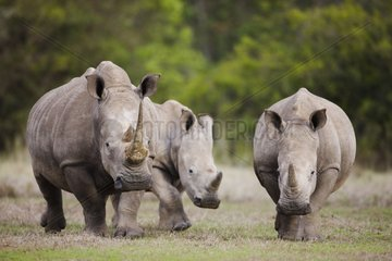 White rhinoceros walking in savana Kenya
