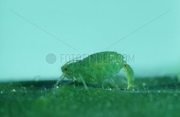 Aphid female giving birth on a leaf