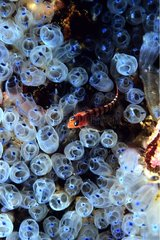 Blue-eyed Triplefin swimming among blue Sea Squirts